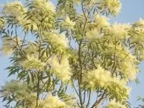 la fioritura dell'orniello (14)