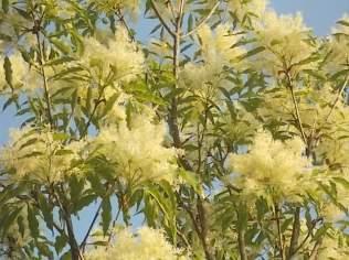 la fioritura dell'orniello (17)