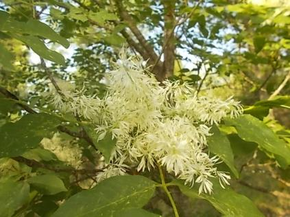 la fioritura dell'orniello (2)