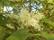 la fioritura dell'orniello (3)