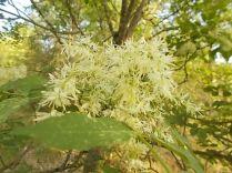 la fioritura dell'orniello (4)