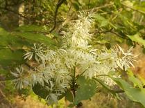 la fioritura dell'orniello (5)