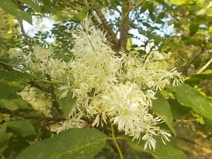 la fioritura dell'orniello (6)