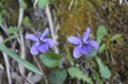 la strada delle primule selvatiche e delle violette (10)