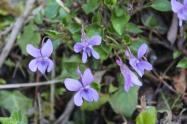 la strada delle primule selvatiche e delle violette (11)