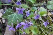 la strada delle primule selvatiche e delle violette (12)