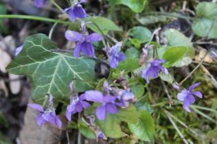 la strada delle primule selvatiche e delle violette (13)