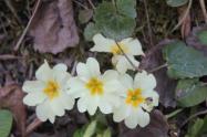 la strada delle primule selvatiche e delle violette (6)