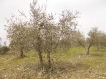 potatura olivi 2018 (1)
