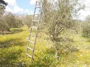 potatura olivi 2018 (10)