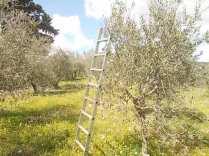 potatura olivi 2018 (11)