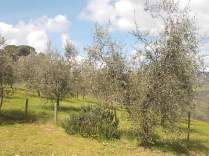 potatura olivi 2018 (12)