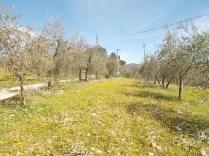 potatura olivi 2018 (13)