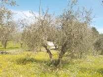 potatura olivi 2018 (14)