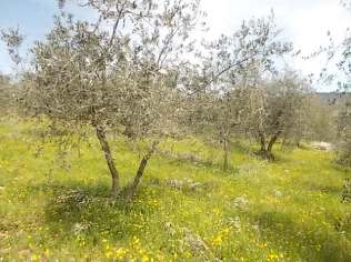 potatura olivi 2018 (15)