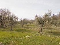 potatura olivi 2018 (2)