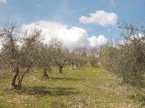 potatura olivi 2018 (3)