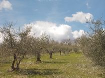 potatura olivi 2018 (4)