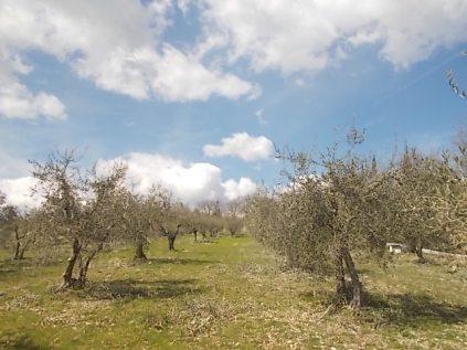 potatura olivi 2018 (5)