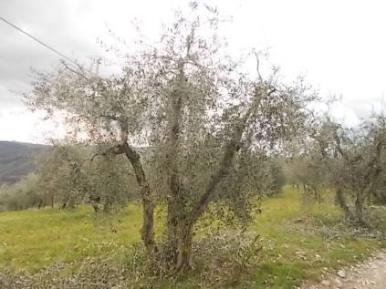 potatura olivi 2018 (6)