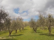 potatura olivi 2018 (7)