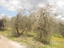 potatura olivi 2018 (8)