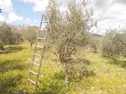 potatura olivi 2018 (9)