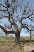 quercia delle checche pienza, le cure (1)