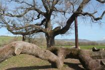 quercia delle checche pienza, le cure (11)