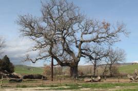 quercia delle checche pienza, le cure (14)