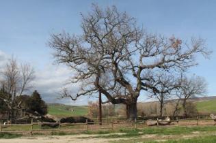 quercia delle checche pienza, le cure (15)