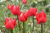 tulipani di pienza (10)