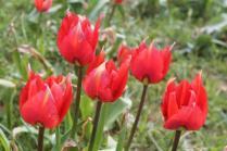 tulipani di pienza (11)
