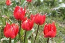 tulipani di pienza (12)