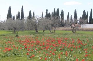 tulipani di pienza (13)