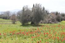 tulipani di pienza (14)