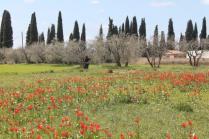 tulipani di pienza (15)