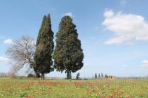 tulipani di pienza (17)