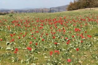 tulipani di pienza (18)