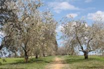 tulipani di pienza (2)