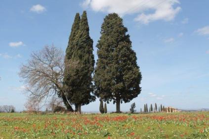tulipani di pienza (3)