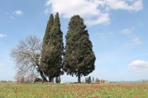 tulipani di pienza (4)