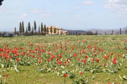 tulipani di pienza (5)