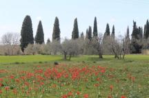 tulipani di pienza (6)