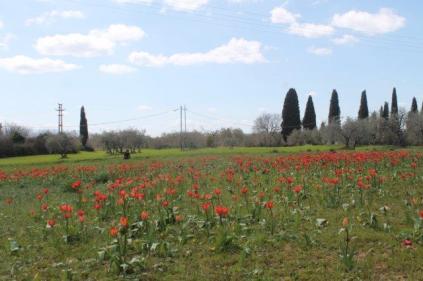tulipani di pienza (7)