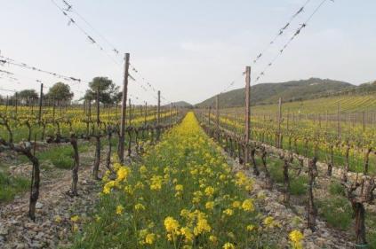 vigne san felice, colza, fave e diserbante (1)