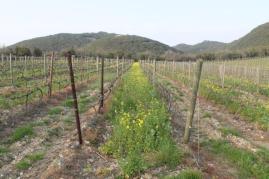 vigne san felice, colza, fave e diserbante (10)