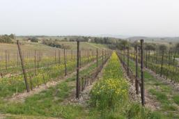 vigne san felice, colza, fave e diserbante (11)