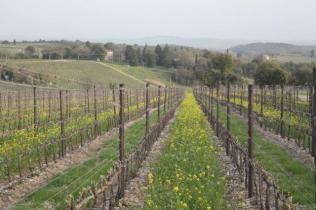 vigne san felice, colza, fave e diserbante (12)