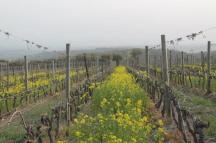 vigne san felice, colza, fave e diserbante (16)